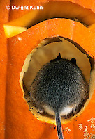 MU59-045z   White-Footed Mouse - on Jack-o-lantern -  Peromyscus leucopus