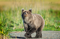 Yearling Brown Bear (Ursus arctos) puts her sight, smell and hearing to work in checking out the annoying humans known as photographers.  We were glad she didn't want to put the sense of touch to the test.  Lake Clark National Park, Alaska.