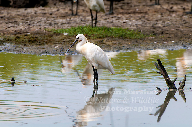 The Eurasian spoonbill or common spoonbill (Platalea leucorodia) is a wading bird of the ibis and spoonbill family Threskiornithidae. Bundala National Park - Sri Lanka.