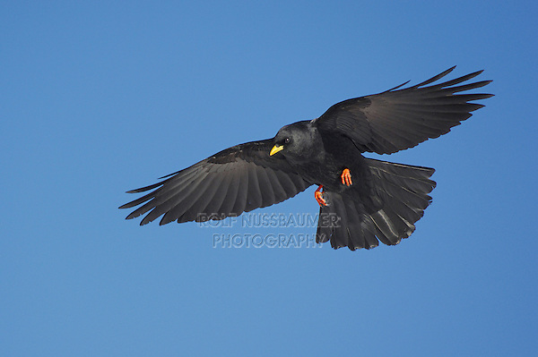 Alpine Chough (Pyrrhocorax graculus), adult in flight, Pilatus, Switzerland