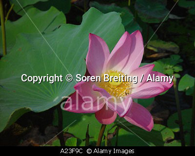 A23F9C Pink Lotus flower Nelumbo nucifera sacred lotus on water with leaves Thailand