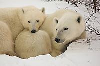 Polar bears find a comfy rest spot, Wapusk National Park, Manitoba, Canada, November 2006, Wapusk National Park, Manitoba, Canada, November 2006