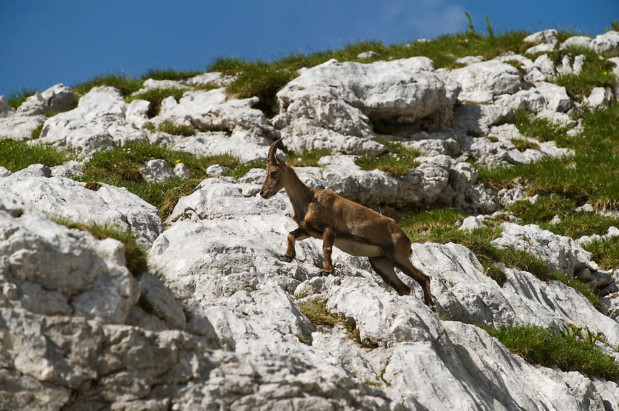 Ibex (Capra ibex)<br /> Julian Alps<br /> Triglav National Park, Slovenia<br /> July 2009