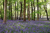 Bluebells in Woodland, England