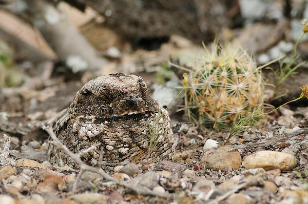 Common Poorwill (Phalaenoptilus nuttallii), adult on nest camouflaged, Laredo, Webb County, South Texas, USA
