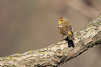 Palm Warbler (Setophaga palmarum hypochrysea), Yellow subspecies, a spring migrant foraging in New York City's Central Park.