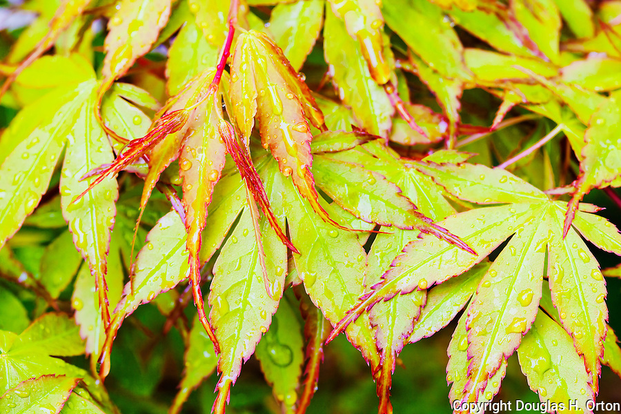 "Close up of spring foliage, believed to be Acer Palmatum ""Bihou"", a beautiful maple with leafs that emerge yellow, become soft green in summer and bright golden in fall.  Upright, small tree."