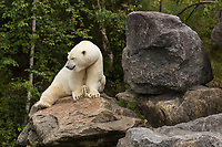 A polar bear (Ursus maritimus) is seen at the Zoo Sauvage in St. Felicien, Quebec Friday August 25, 2017.