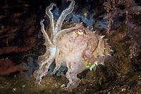 broadclub cuttlefish, Sepia latimanus, Anilao, Batangas, Philippines, Pacific Ocean