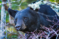 American black bear (Ursus americanus), Clingmans Dome