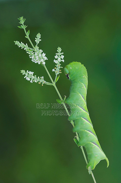 Rustic Sphinx Moth, Manduca rustica , Caterpillar on Beebrush (Aloysia gratissima), Willacy County, Rio Grande Valley, Texas, USA