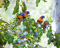 Rainbow Lorikeet race Rubritorquis aka Red Collared Lorikeet, in shower, Elsey NP, NT, Australia