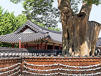 Zelkowa-Baum im Hwaseong Haenggung Palast in  der Festung-Hwaseong von Suwon, Provinz Gyeonggi-do, S&uuml;dkorea, Asien, Unesco-Weltkultueerbe<br /> Zelkowa tree in Hwaseong Haenggung palace in  fortress Hwaseong, Suwon, Province Gyeonggi-do, South Korea Asia, UNESCO World-heritage