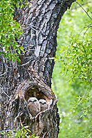 Great Horned Owl nest and two chicks in a Cottonwood Tree in Grand Teton National Park