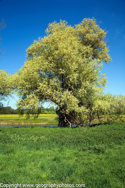 Willow trees line on banks of River Stour, Dedham Vale, Essex Suffolk border, England