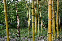 cold hardy timber bamboo (Phyllostachys vivax) with fresh sprout in grove at Quarryhill Botanical Garden, California