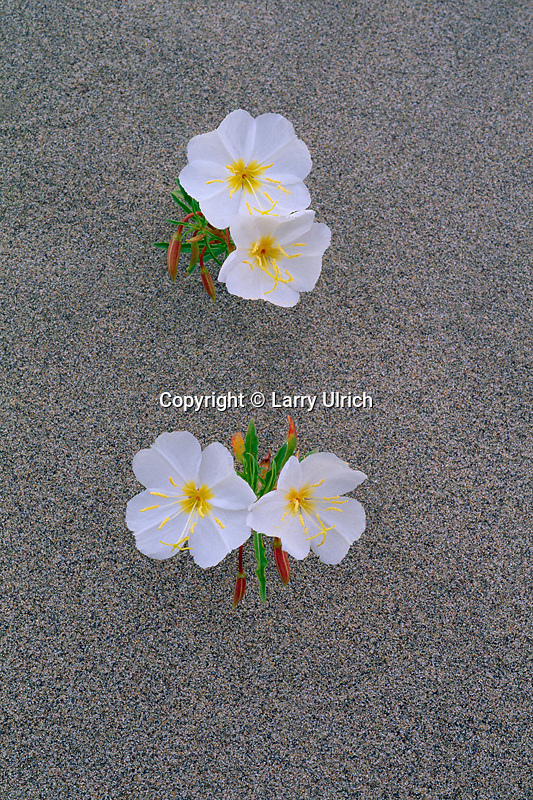 Pale evening-primrose<br />