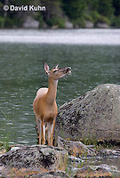 0623-1001  Northern (Woodland) White-tailed Deer, Odocoileus virginianus borealis  © David Kuhn/Dwight Kuhn Photography