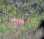 Deer, seen in the Esopus Bend Nature Preserve, in Saugerties, NY, on Friday, July 28, 2017. Photo by Jim Peppler. Copyright/Jim Peppler-2017.
