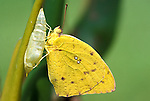 Orange Barred Sulphur Butterfly, Phoebus philea, hatching from pupae or chrysalis, yellow colour.USA....