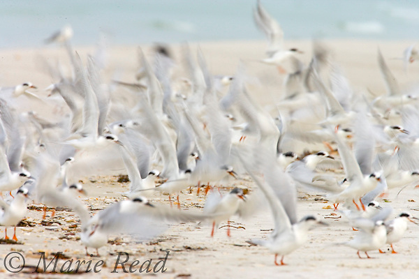 Forster's Terns (Sterna forsteri) flock taking flight, blurred abstract, Fort De Soto Park, Florida, USA