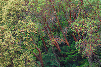 WASJ_D106 - USA, Washington, San Juan Island National Historical Park, English Camp, Pacific madrone trees bloom alongside Douglas fir.