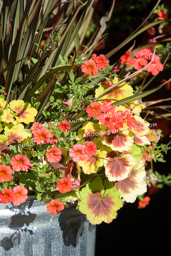 A colorful, tight detail of the edge of a shiny new galvanized trash can used as a creative container to hold a beautiful array of annuals and perennials featuring the zonal geranium (Pelargonium) 'Indian Dunes'.