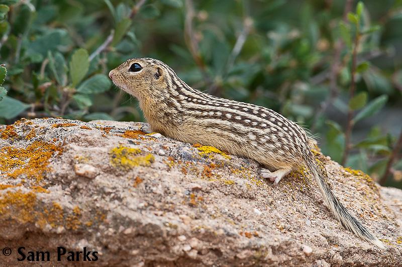 Thirteen-lined ground squirrel. Laramie Range, Wyoming.