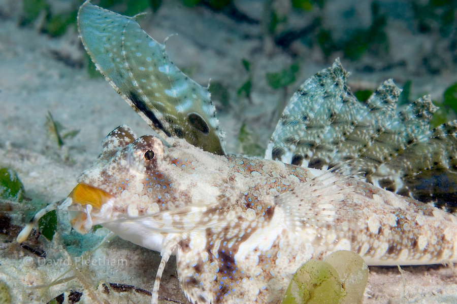 The fingered dragonet, Dactylopus dactylopus, can be found during the day on open sandy bottoms.  They are often in pairs and will ?walk? on the first free finger-like rays of their broad pectoral fins.  Mabul Island, Malaysia.