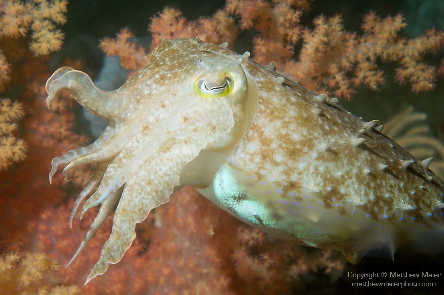 Anilao, Philippines; a Reef Cuttlefish (Sepia latimanus) changes color, texture and shape while moving over the coral reef