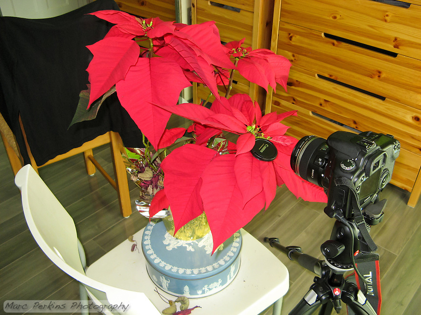This image shows the setup for one of my poinsettia flower closeup images.  My Canon 30D is sitting on my Manfrotto tripod with a cable release and my 60mm EFS lens pointing at a poinsettia that has a mature female flower emerging from the involucre.  Behind the potted plant is a chair with a black T-shirt hanging on it to act as a background.