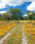 San Luis Obispo County, CA<br /> Road winding thru spring wildflowers and valley oak trees