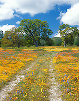 San Luis Obispo County, CA<br /> Road winding thru spring wildflowers and valley oak trees