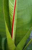Amazon, Brazil. Leaves of a species of banana - Musa sp.; fleshy leaves with a red spine.