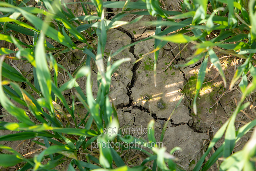 Winter wheat with cracks in the soil - Lincolnshire, April