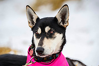 Emily Maxwell's dog in McGrath, Alaska during the 2019 Iditarod on Wednesday, March 6th 2019.<br /> <br /> Photo by Jeff Schultz/  (C) 2019  ALL RIGHTS RESERVED