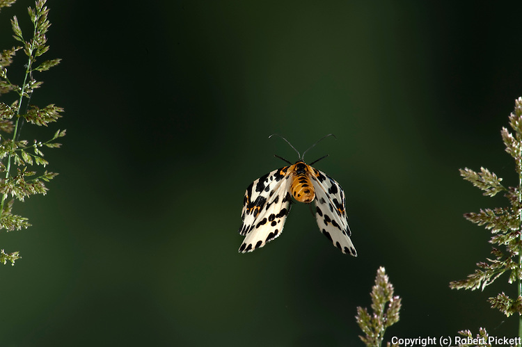 Magpie Moth, Abraxas grossulariata, Kent UK, adult, in flight, flying, high speed photographic technique