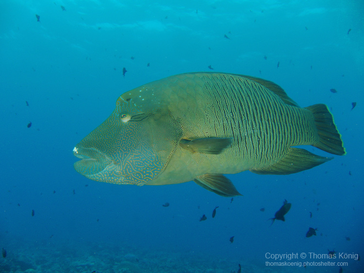 Blue Corner, Palau -- A curious Napoleon Wrasse, aka Humphead Wrasse.<br />