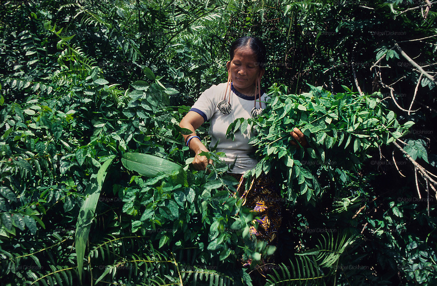 1991: A Kenyah native woman collects plants in the rainforest for medicinal and nutritious values. The rainforest has an abundant resource of tasty ecological and renewable vegetation. Near Long Geng, Belaga district, Sarawak, Borneo<br /> <br /> Tropical rainforest and one of the world's richest, oldest eco-systems, flora and fauna, under threat from development, logging and deforestation. Home to indigenous Dayak native tribal peoples, farming by slash and burn cultivation, fishing and hunting wild boar. Home to the Penan, traditional nomadic hunter-gatherers, of whom only one thousand survive, eating roots, and hunting wild animals with blowpipes. Animists, Christians, they still practice traditional medicine from herbs and plants. Native people have mounted protests and blockades against logging concessions, many have been arrested and imprisoned.