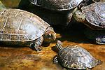 Turtles in a pond at Majorelle Garden, Marrakech.