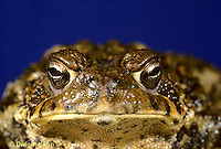 FR10-028x  American Toad - close-up of face - Anaxyrus americanus, formerly Bufo americanus