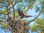 Bald Eagles in tree nest.