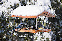 00585-03607 Blue Jays (Cyanocitta cristata) on tray feeder in winter, Marion Co. IL