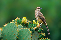 581990057 a wild curve-billed thrasher toxostoma curvirostrae perches on a flowering opuntia cactus plant in the rio grande valley of south texas