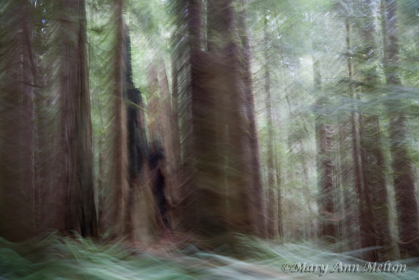 An impressionist image of Jedediah Smith Redwood Forest created using motion blur