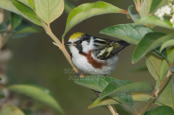Chestnut-sided Warbler, Dendroica pensylvanica, male, South Padre Island, Texas, USA