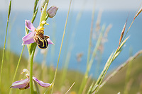 A Bee Orchid flowers in a small coastal valley near Dancing Ledge, Purbeck, Dorset, UK
