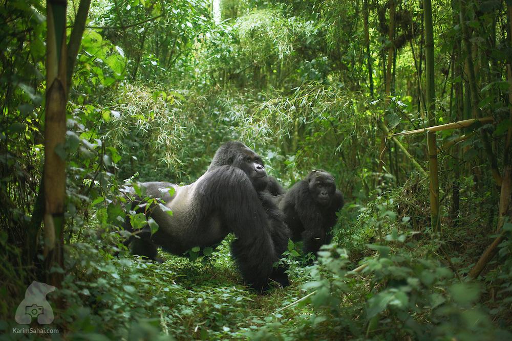 Guhonda The Largest Mountain Gorilla In The World Rwanda