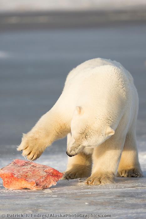 Polar bear cub paws at whale blubber on Barter Island, Alaska.