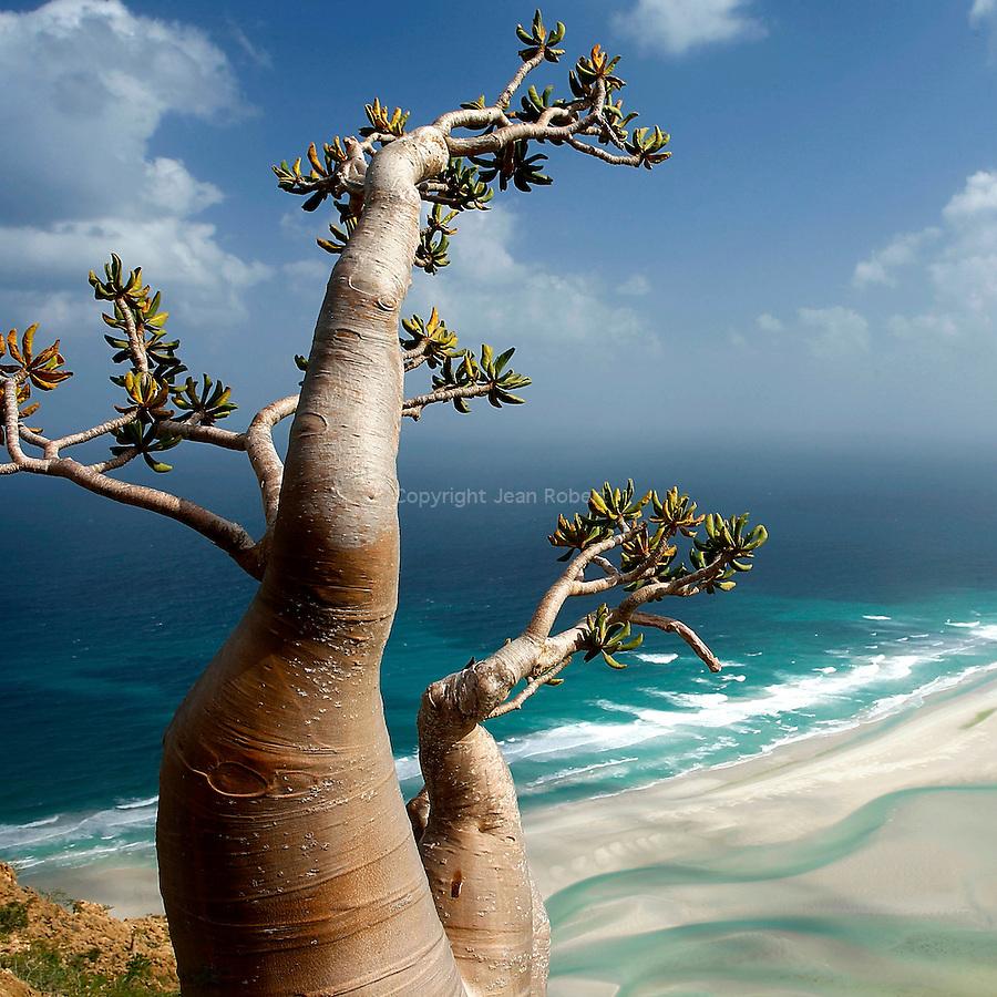 Adenium Obesium sokotranum dominant le lagon de qalansiyah. Ile de Socotra. Yemen..Socotran desert rose (Adenium Obesium sokotranum) above qalansiyah lagoon. Socotra. Yemen